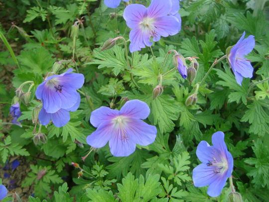 geranium x rozanne 39 gerwat 39 plantes vivaces